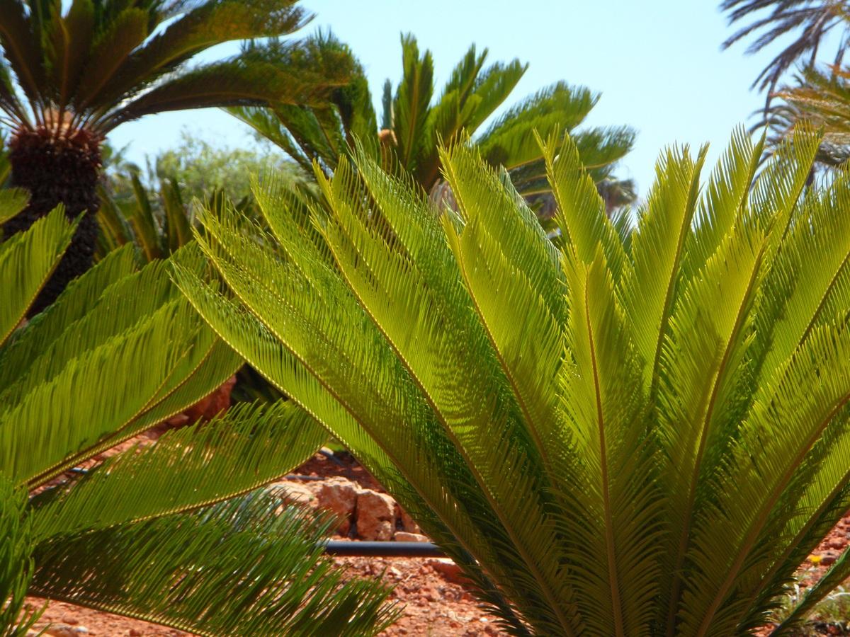 Las cicas son plantas consideradas fósiles vivientes