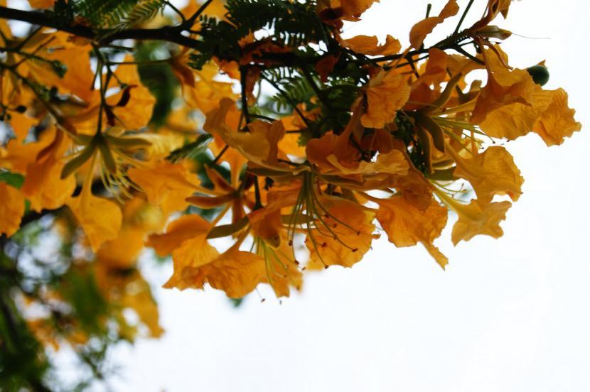 Flamboyan y sus flores