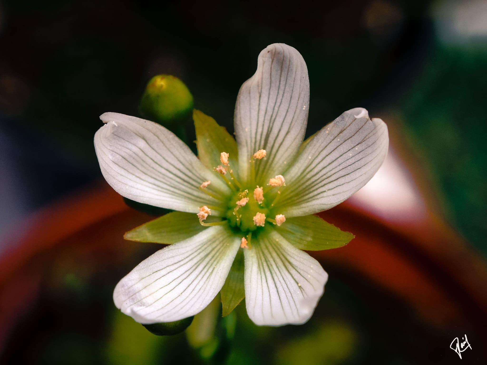 La flor de la venus atrapamoscas es blanca