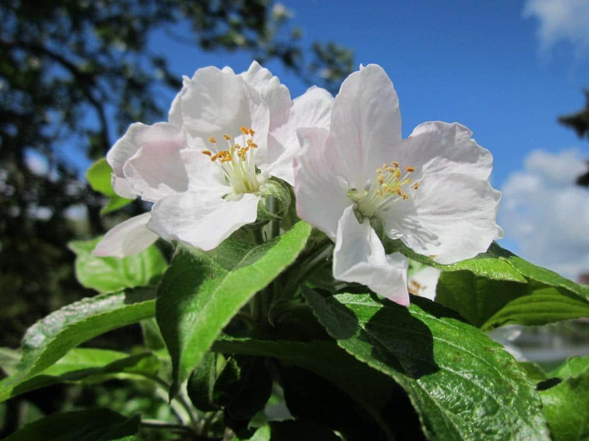Las flores del manzano son blancas