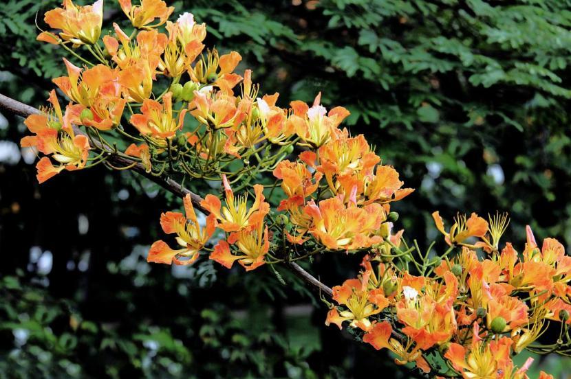 Flores del flamboyan