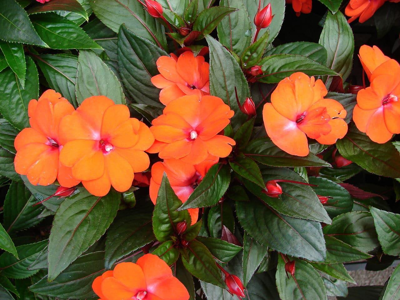 La alegría guineana es una planta herbácea