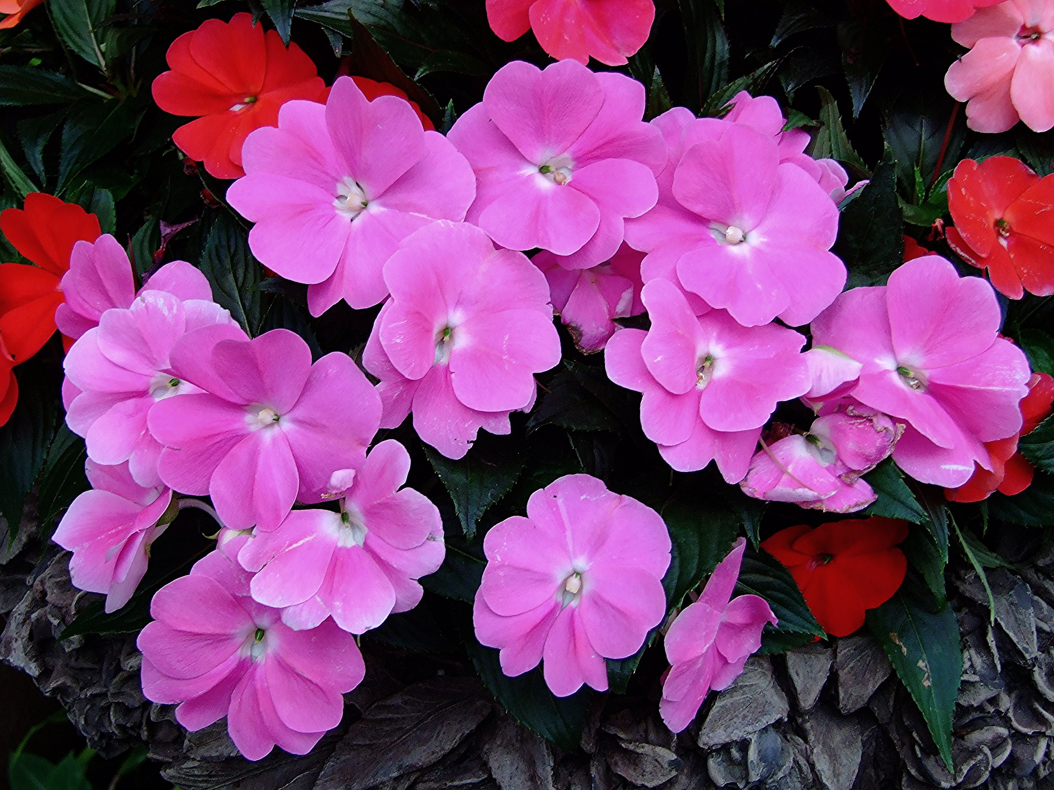 La alegría guineana es una planta tropical