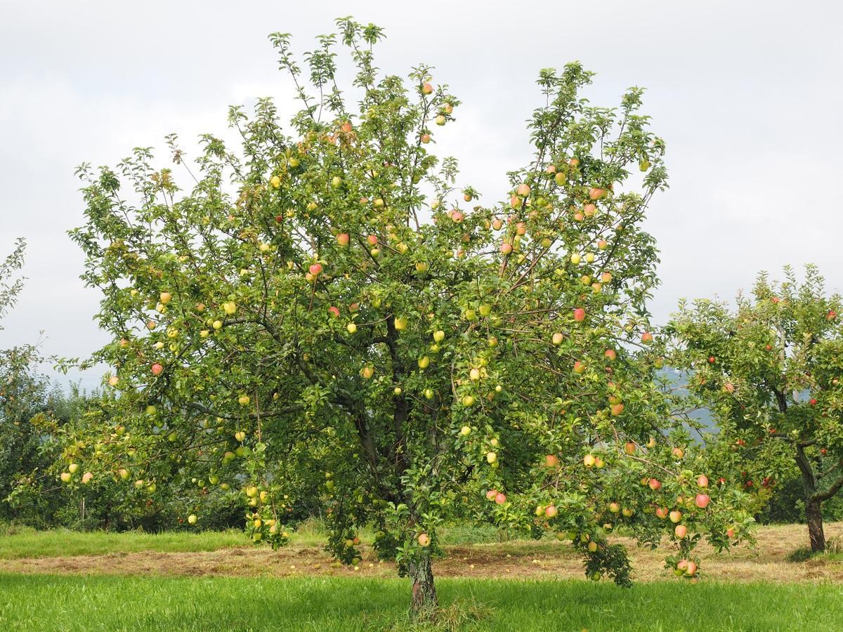 El manzano es un árbol de hoja caduca