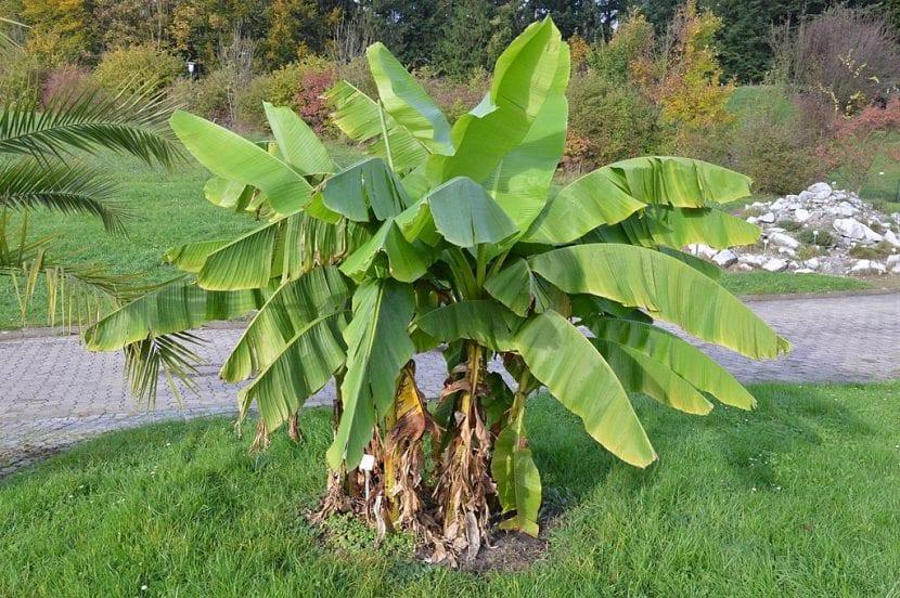 Vista de la Musa basjoo, el banano japonés