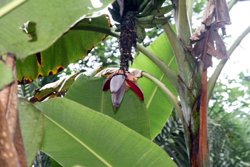 La Musa paradisiaca es una planta que produce frutos comestibles