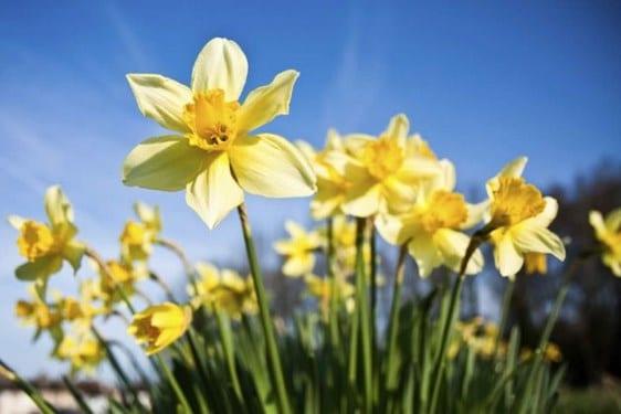 Narcizos