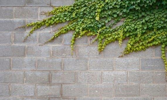 El agarre de las trepadoras for Plantas trepadoras para muros