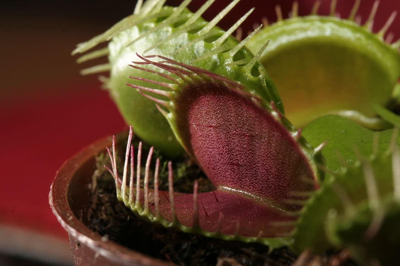 La venus atrapamoscas es una carnívora de fácil cultivo