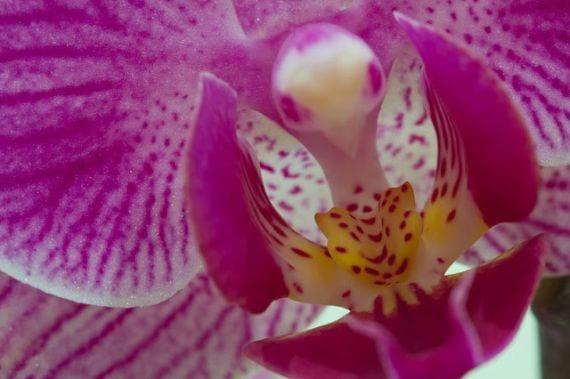 Orquídea cabeza de pájaro