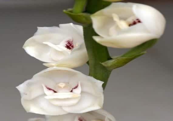 Orquídea forma de paloma