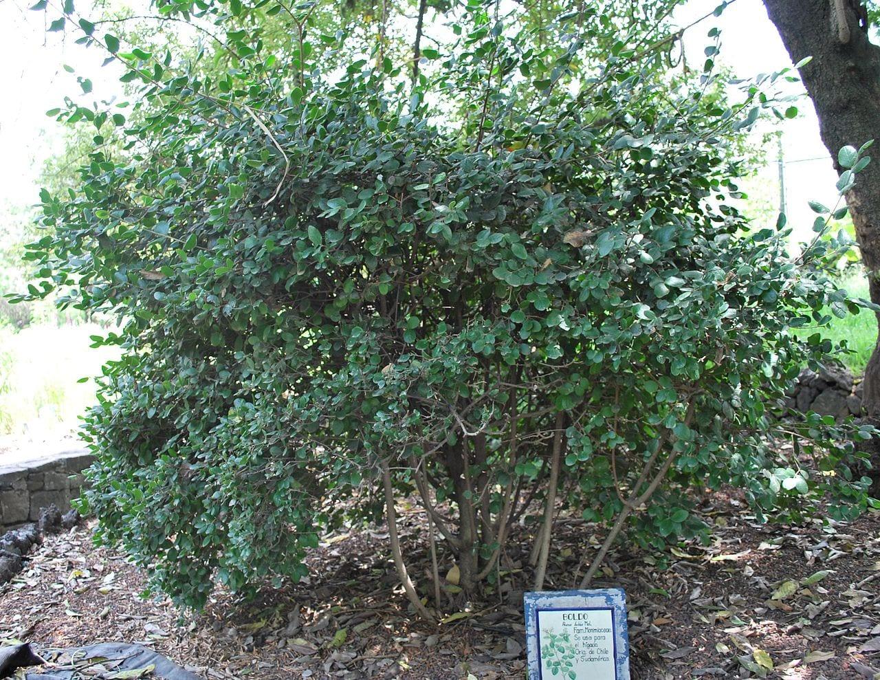 El boldo es un árbol medicinal