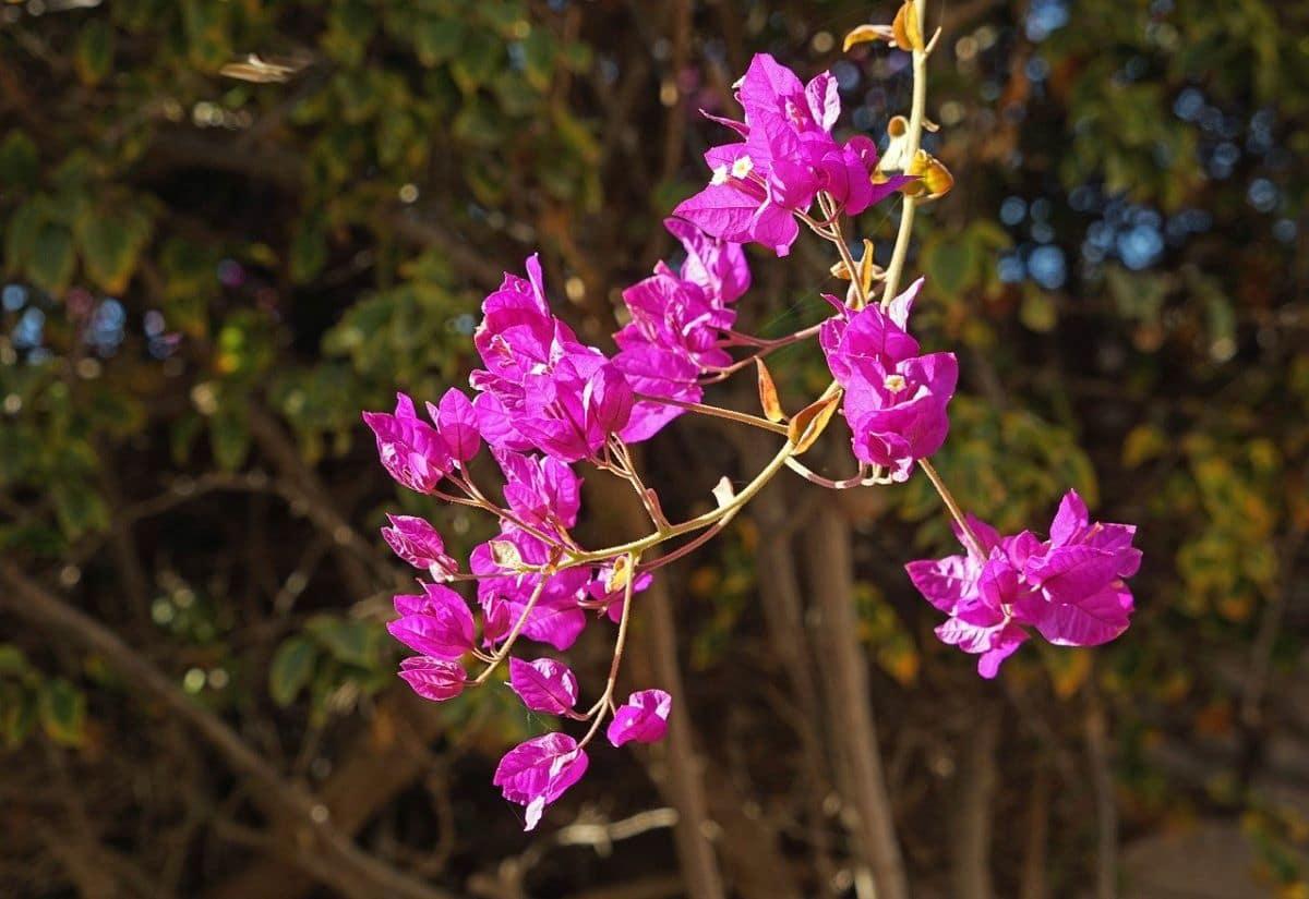 La buganvilla es una planta que florece en primavera