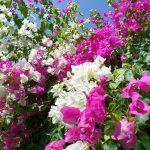 Las buganvillas son arbustos de flores vistosas que dan sombra
