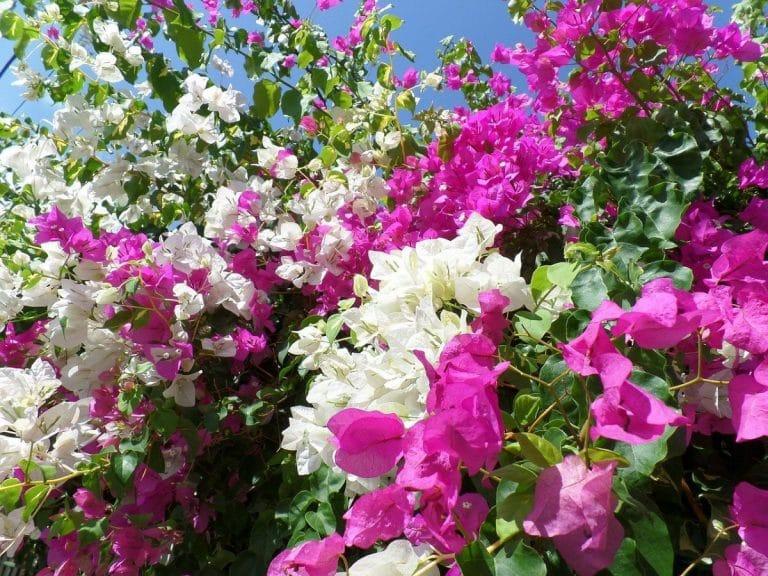Las buganvillas son arbustos de flores vistosas