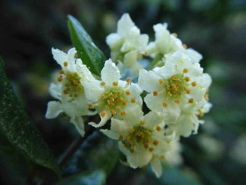 Las flores del boldo son blancas