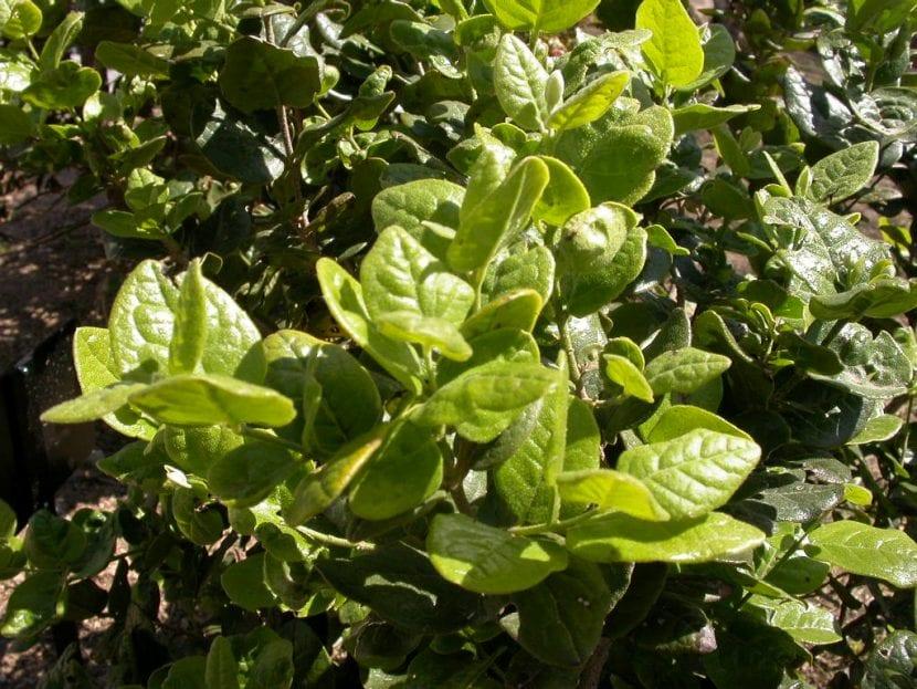 Las hojas del boldo son medicinales
