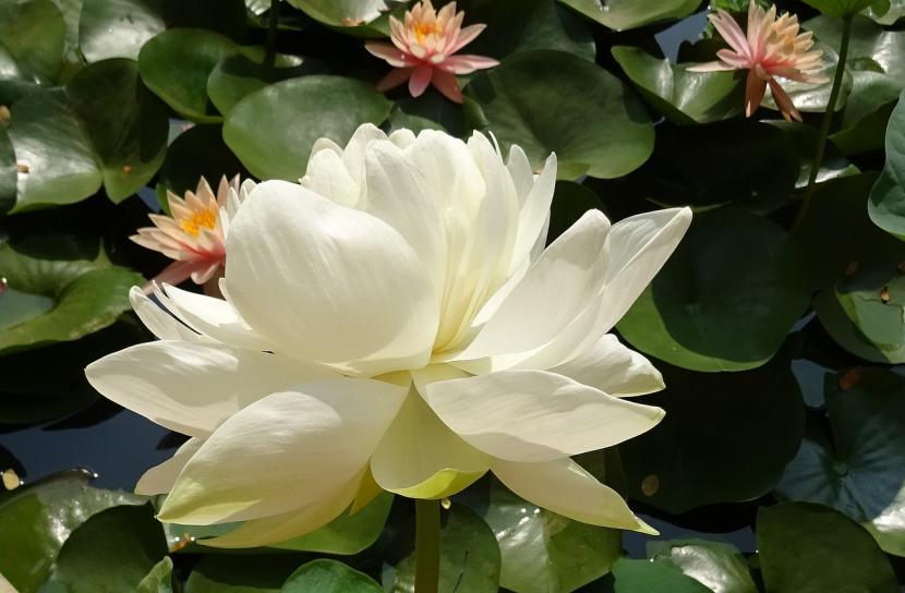 flor de loto en estanque