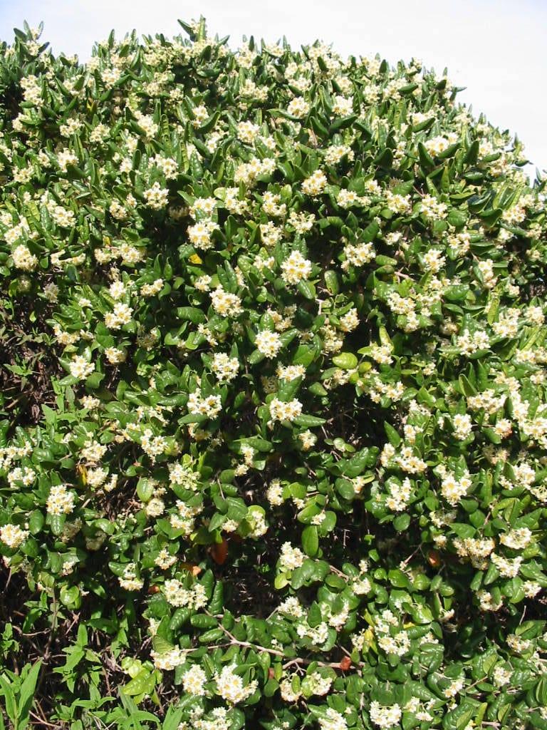 Planta de boldo