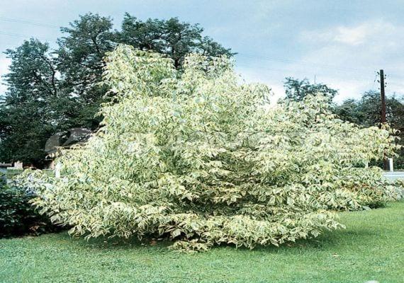 Acer negundo 'Aureovariegatum'