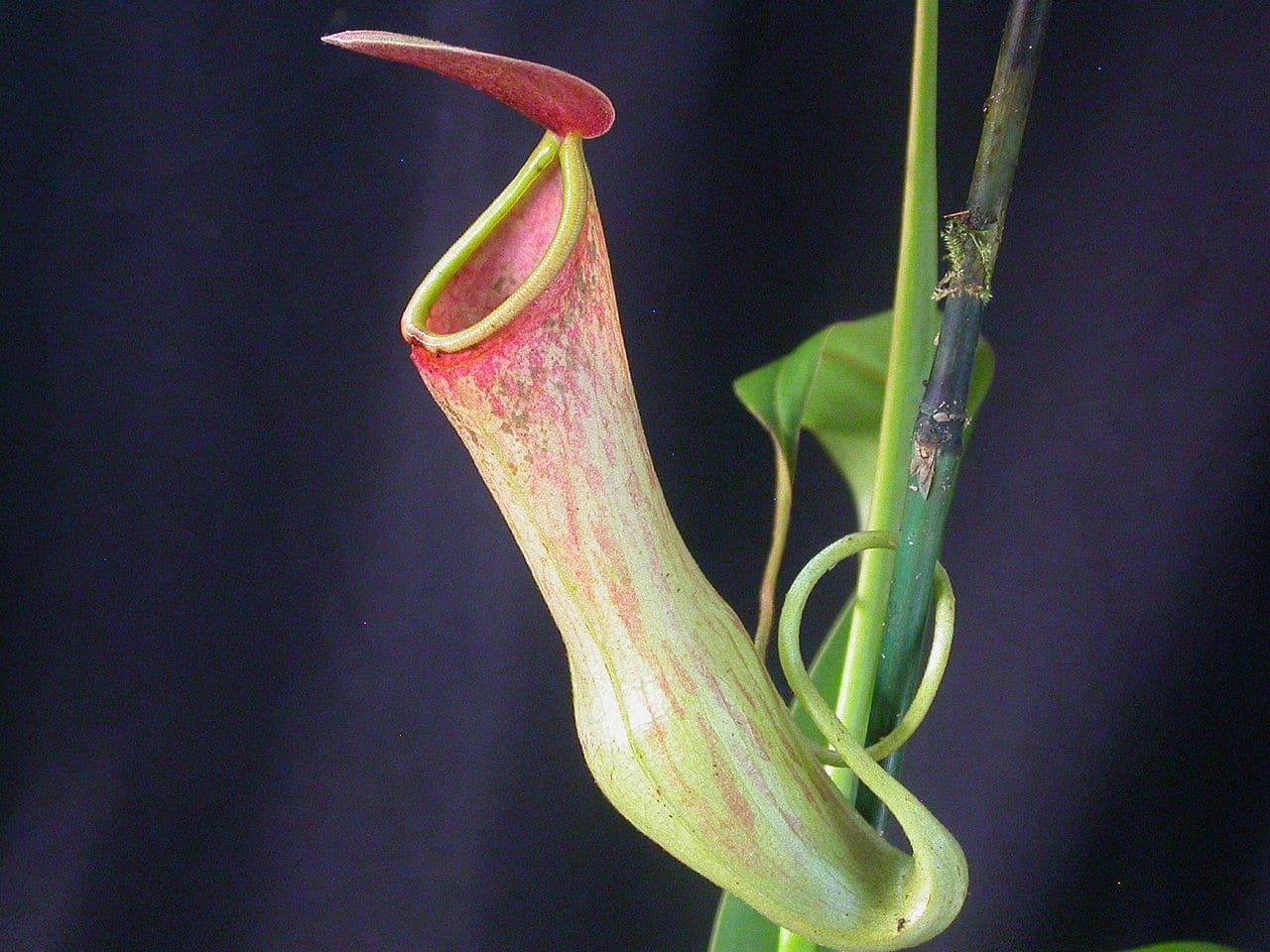 Vista de la Nepenthes khasiana