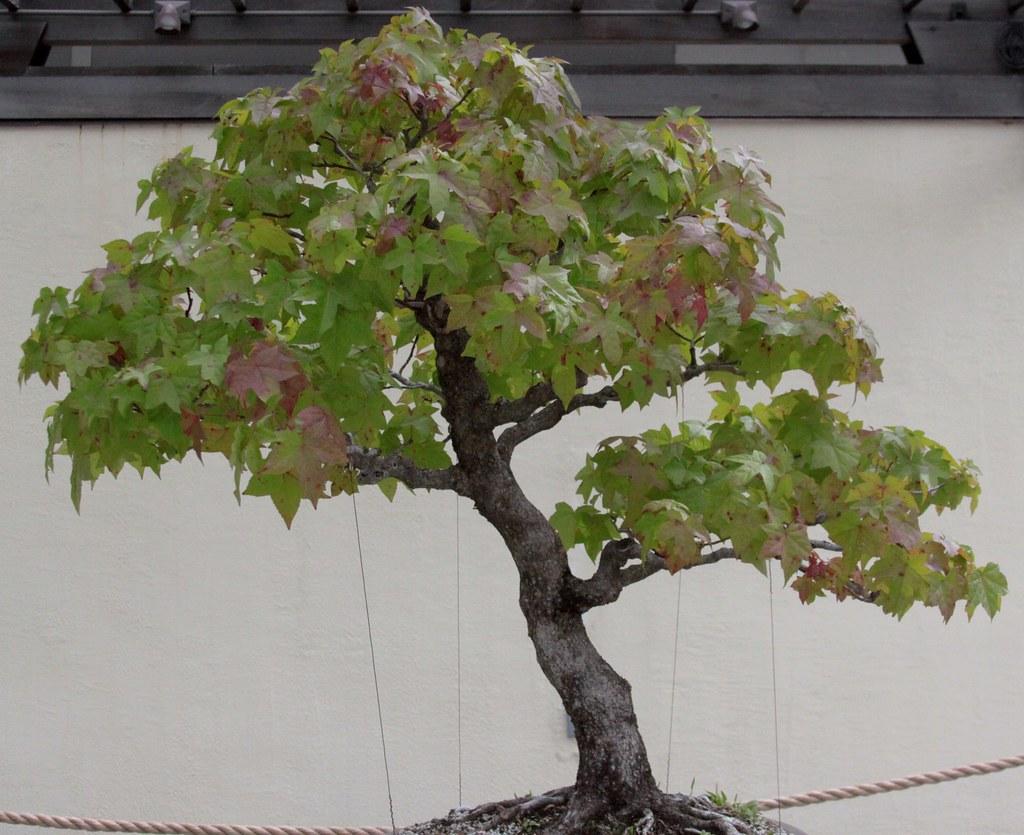El liquidambar se puede trabajar como bonsai