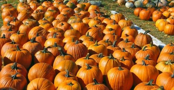 Cultivo y tipos de calabazas de Halloween