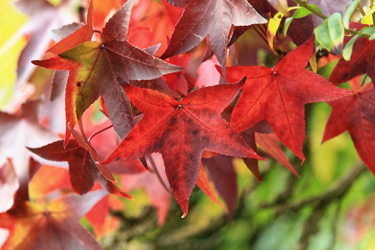 Las hojas del liquidambar se vuelven rojas en otoño