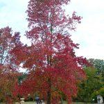 El liquidambar en otoño se pone precioso