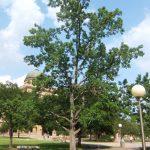 El liquidambar es un árbol muy alto