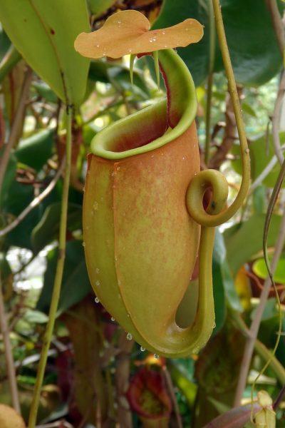 Las trampas de la Nepenthes bicalcarata son amarillas