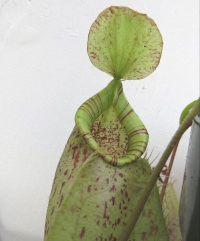 Vista de la Nepenthes x hookeriana