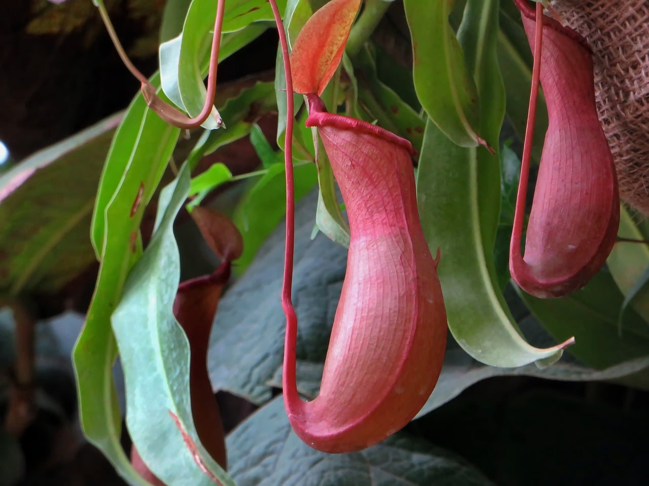 Las Nepenthes son carnívoras tropicales