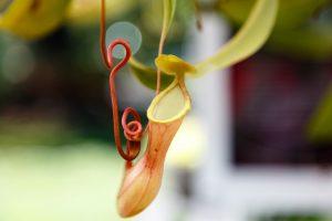 Las Nepenthes son plantas carnívoras