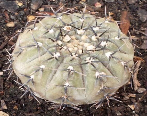 Cómo cuidar un cactus Copiapoa