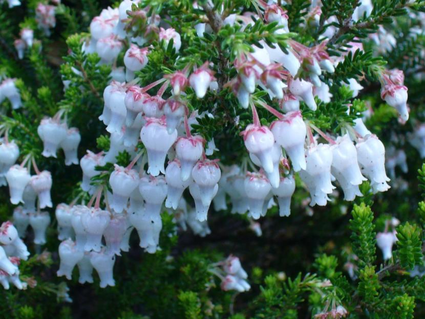 Planta Erica Glomiflora