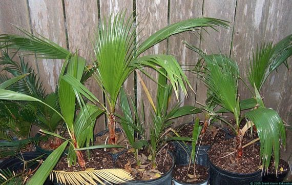 Plantines Washingtonia