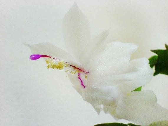 Schlumbergera blanca