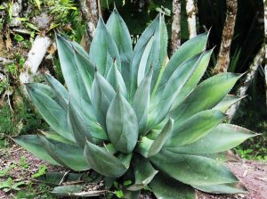 El agave es una planta suculenta