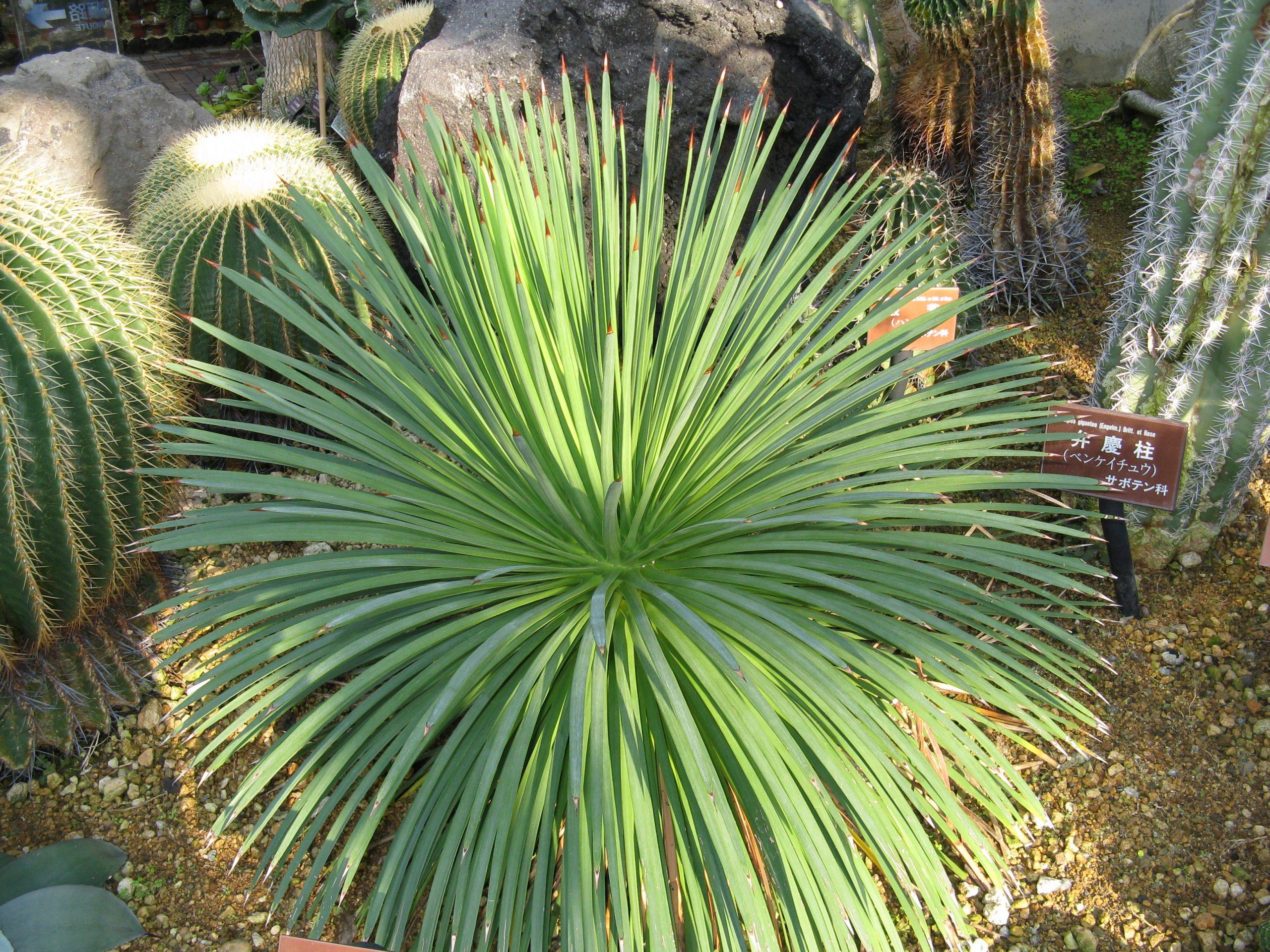 El Agave stricta es una planta muy bonita
