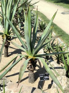 El Agave vivipara es una planta con hojas largas