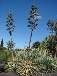 El Agave vivipara es una planta con tallo corto