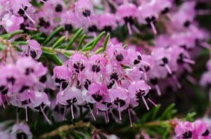 Planta Erica Canaliculata