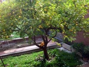 Vista de un limonero con naranjo injertado