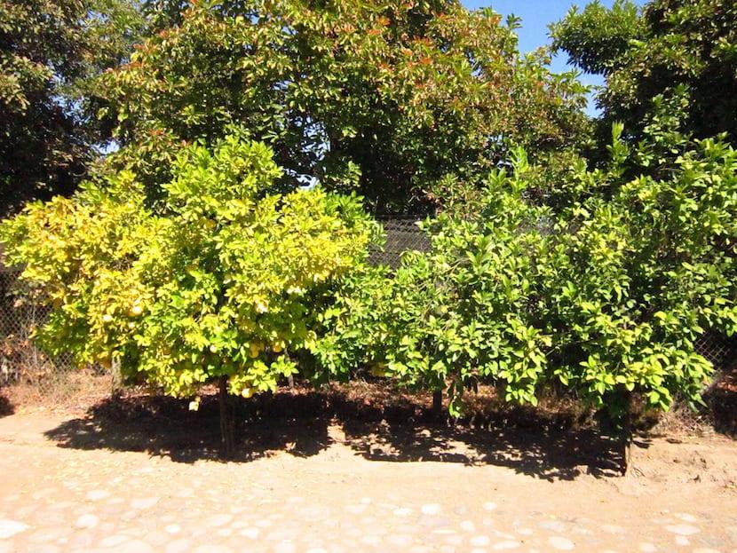 mandarino con hojas amarillas