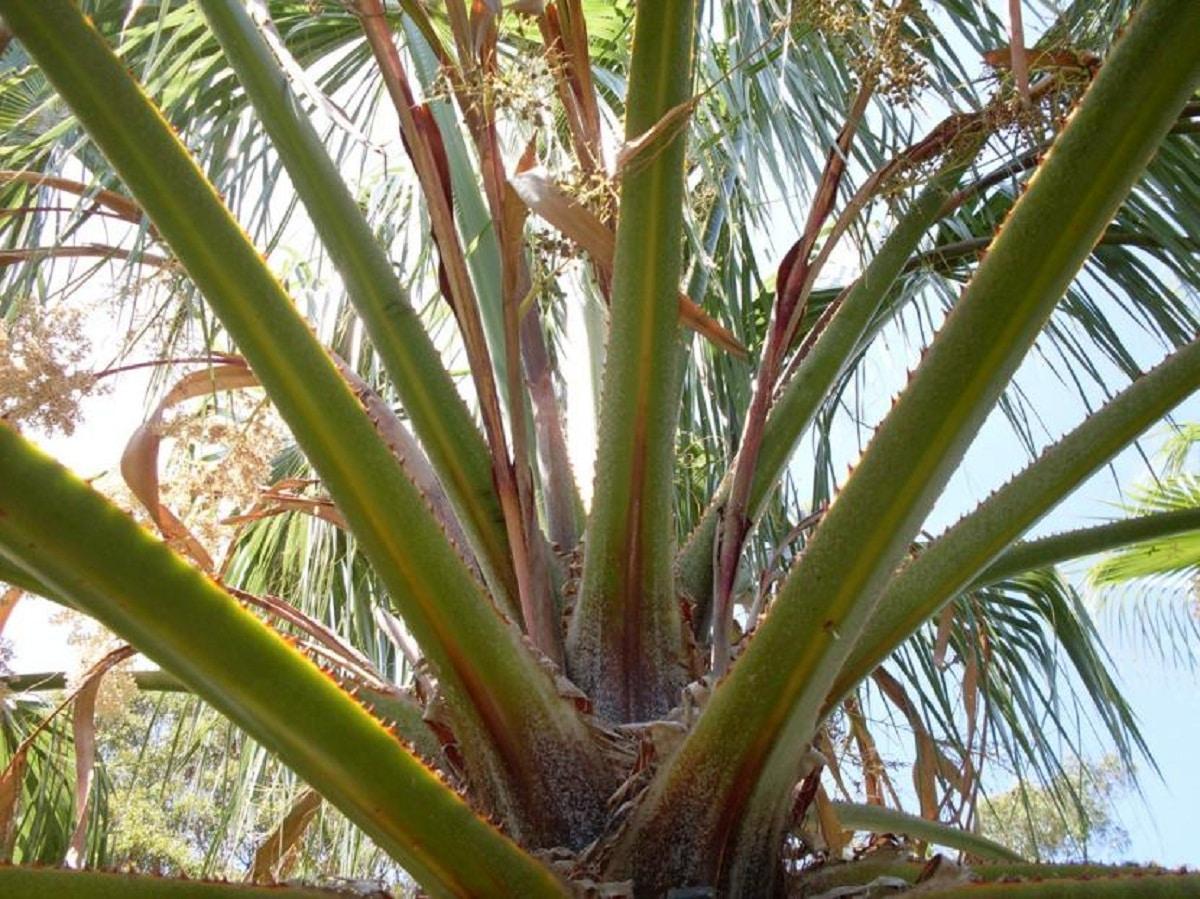 La Washingtonia robusta es una palmera