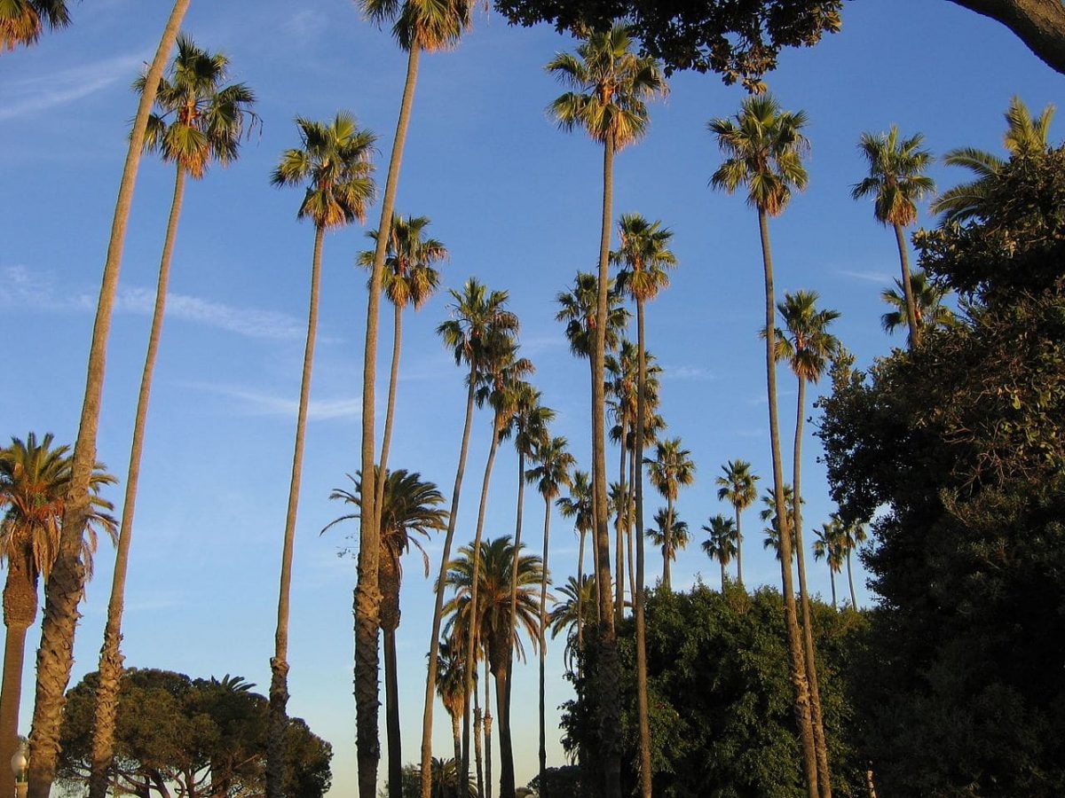 La Washingtonia robusta es una palmera de tronco esbelto