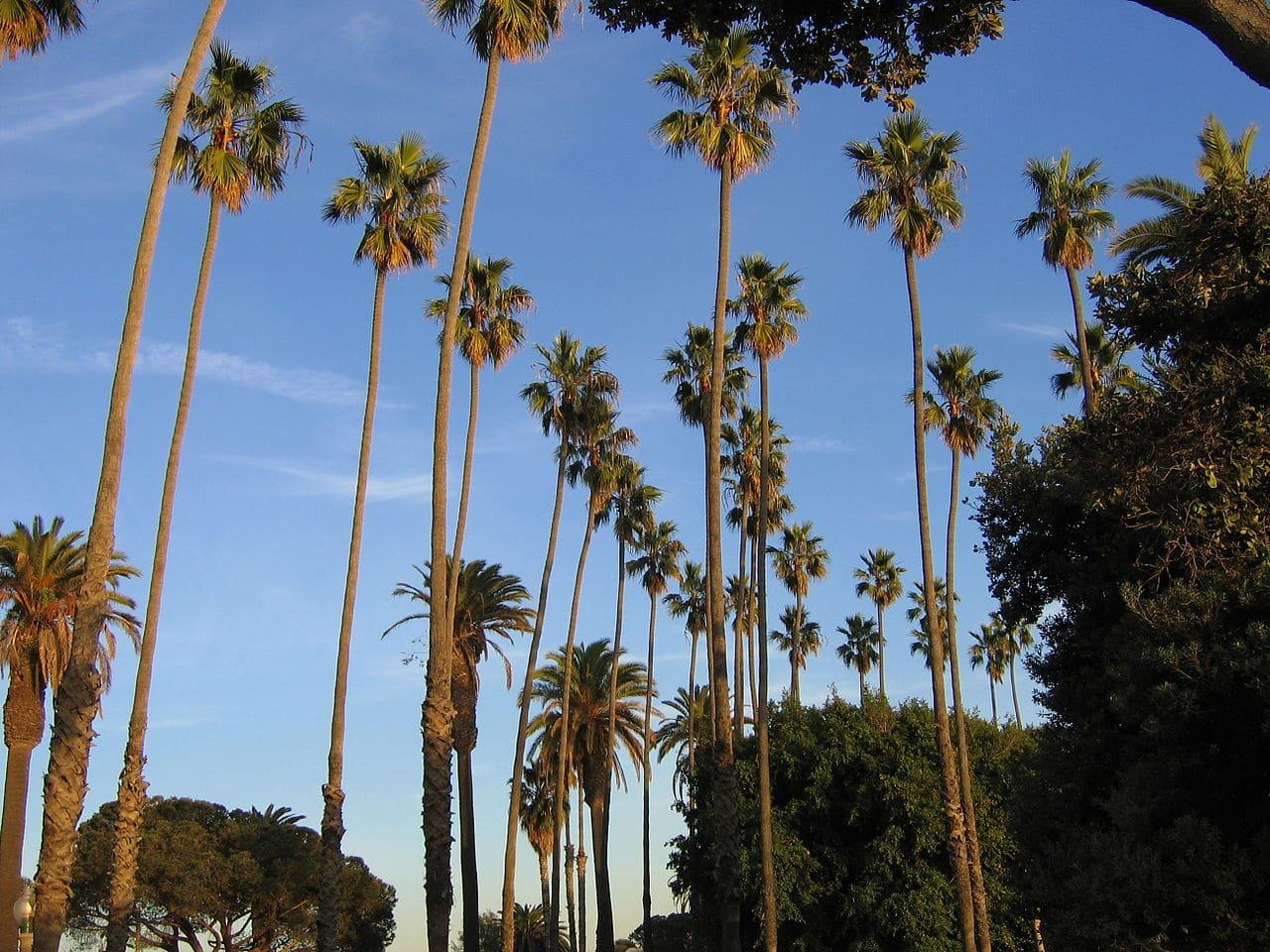 La Washingtonia robusta es una palmera de tronco esbelto