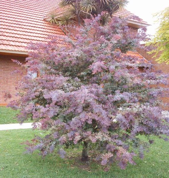 La acacia p rpura un rbol ideal para jardines peque os for Arboles de jardin fotos