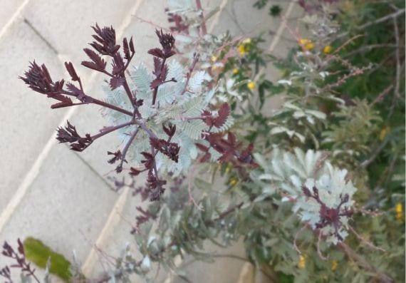 Acacia farnesiana Atropurpurea